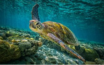 Green turtle in the water