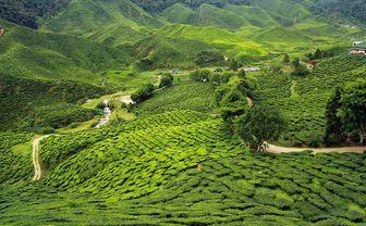 Kenya tea plantation