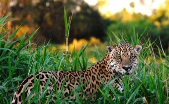 Jaguar in grass
