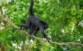 Spider monkey in Central America