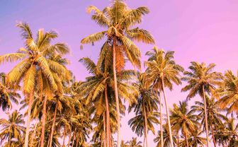 Palm trees against purple sky