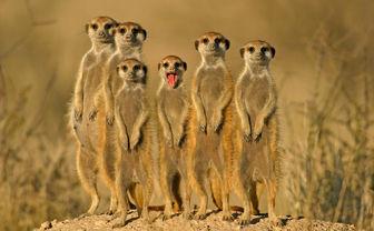 Meerkats in the Kalahari