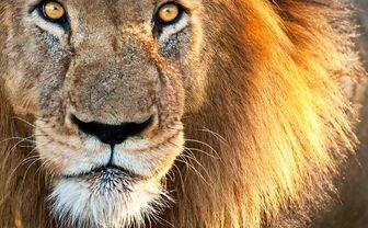Lion close up, Kenya