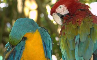 Parrots in Jamaica