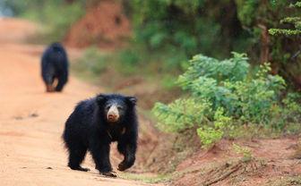 Chena Huts sloth bear