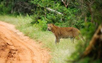 Yala Jaguar