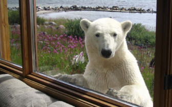 Polar bear looking through windows at the lodge