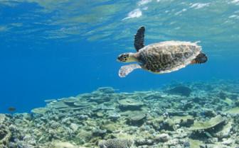 Sea turtle at Park Hyatt Hadahaa