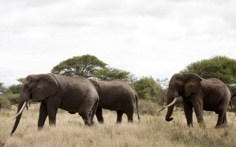 Elephants in the wildlife exterior of at the ranch