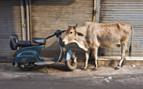 Moped and Cow in Delhi