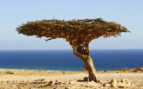 The Gnarled Tree in the Omani Desert