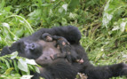 A Sleeping Gorilla with her Babies