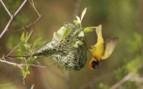 Bird Clinging to Nest