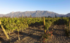 The Vineyards of the Central Valley