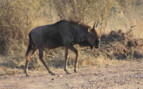 Wildebeest walking
