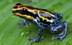 A Dart Frog