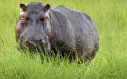 Hippo in the shrubs