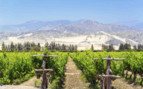 Pisco Vineyard Ica
