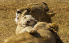 Lion and cub hugging in Africa