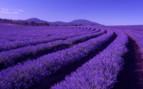 Lavender fields in Tasmania