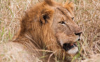 Lion close up in Northern Tanzania