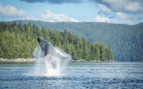 Humpback whale jumping
