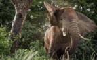 Dusty elephant in Uganda