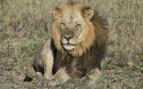 Lion in Hwange