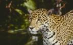 Beliza Wild Cat