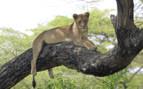 Lake Manyara Lion