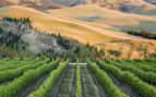 Canterbury Vineyards