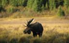 Canadian Rockies Moose