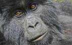 Gorilla's Face in Rwanda
