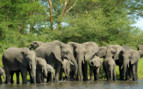 Elephants Drinking at the Watering Hole