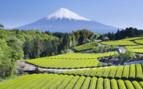 Mount Fuji and Tea fields