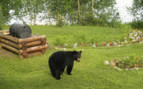 Black Bear at Winterlake Lodge