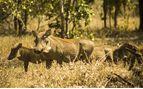 Warthog in Liwonde National Park