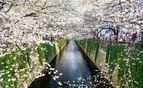 Sakura Canal