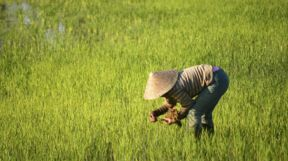 Paddy Fiels, Laos