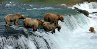 Grizzly Bears Salmon Fishing