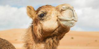 Camel, Oman