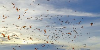 Flying foxes in Komodo