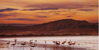 Flamingos at Skeleton Coast