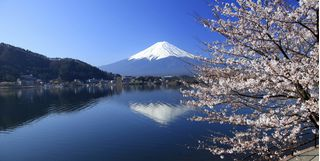 Iconic Cherry Blossom and Mount Fuji, Japan