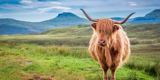 An image of a Highland Cow