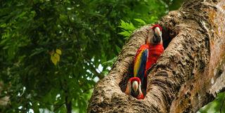 Costa Rica parrots in tree