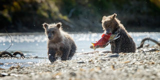 Bear cubs in British Columbia