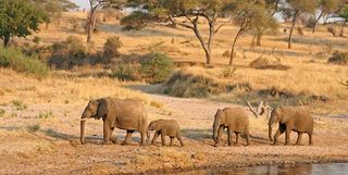 Elephants in Tanzania
