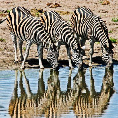 Zebras in KwaZulu-Natal
