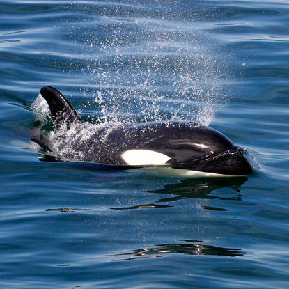 Orca on the Snaefellsnes Peninsula